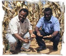 CIMMYT regional economist Mulugetta Mekuria (left) and SOFECSA coordinator Paul Mapfumo check the status of the soil on a smallholder farm in Zimbabwe.