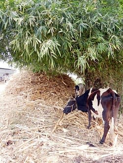 Unprocessd maize stover given to cattle, which is largley wasted. Photos: P.H. Zaidi