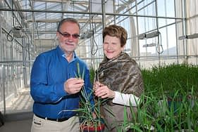 Hans Braun, director of the Global Wheat Program at CIMMYT examines wheat with nutritionist Julie Miller Jones in a greenhouse at CIMMYT headquarters near Mexico City. Jones presented a talk on nutrition and wheat at CIMMYT. Photo: Xochiquetzal Fonseca/CIMMYT