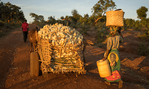 Farmers Ngunya Phiri and husband Daniel heads for home with a full load of cobs on their ox cart after harvesting maize cultivated under conservation agriculture in their field in Chipata district, Zambia. Photo: P.Lowe/CIMMYT