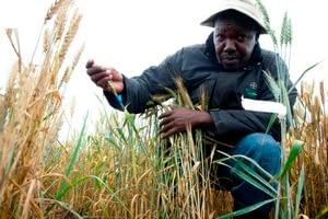 UG99 wheat stem rust screening nursery, and farms near it, Njoro, Kenya.  Project involving breeders and plant pathologists from U of MN, Cornell, USDA-ARS, Australia, and CIMMYT.