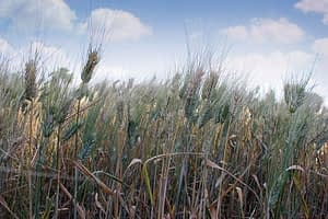 Wheat grows under the canopy of F. albida around mid-October in Mojo area, Ethiopia.