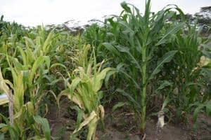 MLN susceptible hybrids compared to a CIMMYT-derived MLN-tolerant hybrid. Photo: CIMMYT