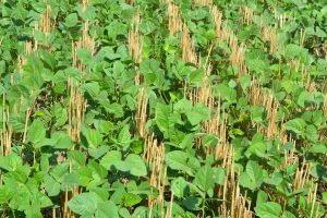 Green gram (mung beans) growing in Taraori village in Karnal, Haryana in India. CIMMYT/M.L. Jat