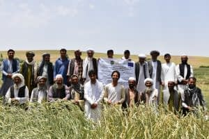 Field day at an on-farm trial in Herat, Afghanistan, June 2017. Photo: A.Lodin/CIMMYT