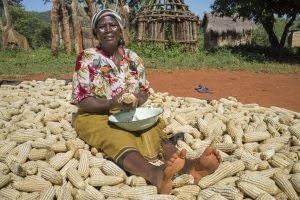 Farmer Joyce Mapeto shucks maize after harvesting her crop in in Pindukai village, Shamva district, Zimbabwe. Photo: Peter Lowe/CIMMYT