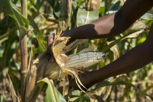 Drought tolerant maize harvested in Zimbabwe. Photo: Peter Lowe/CIMMYT