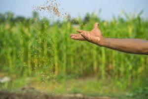 Spreading seed. Photo: CIMMYT/P. Lowe
