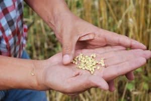 A scientist examines wheat grain. CIMMYT/Nathan Russell