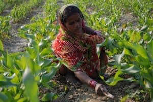 Farmer weeding maize field in Bihar, India. Photo: M. DeFreese/CIMMYT.