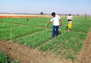 "Researchers acquire ""greenness"" data using a hand-held NDVI sensor. Photo: Ravi Valluru"