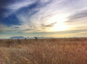 Wheat fields at the Campo Experimental Norman E. Borlaug (CENEB) near Ciudad Obregón, Sonora, Mexico. Photo: M. Ellis/CIMMYT.