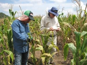 Terry Molnar, maize breeder with SeeD, and Enrique Rodriguez, field research technician with SeeD, evaluate bridging germplasm for resistance to TSC.