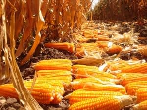Biofortified, provitamin A enriched maize at an experimental plot in Zambia. Photo: CIMMYT