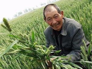 Chinese-wheat-grower