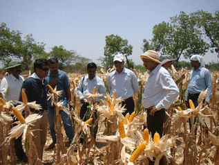 Farmers and seed company personnel observing RCRMH-2 in an on-farm demonstration during the spring season in Gulbarga district of Karnataka, India. Photo: UAS, Raichur