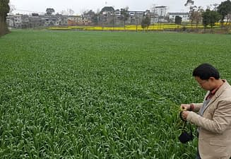Chaosu inspects an immature ZT wheat field affected by frost. This crop will be followed by ZT mechanically transplanted rice into the standing residue in late May. Previously, rice was manually transplanted by women following conventional inversion tillage. This new planting scheme tested by CIMMYT in north western China will save 1-2 weeks and considerable input costs for the new ZT farmers in south west China. Photo: Jack McHugh/ CIMMYT