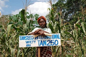 Tanzanian farmer on drought tolerant maize demonstration plot. Photo: Anne Wangalachi/CIMMYT.