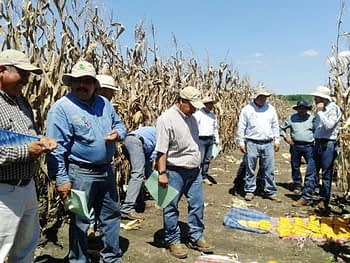 Seed specialists evaluate white and yellow maize hybrids from MasAgro's Collaborative Testing Network for the Tropics. Photo: Alberto Chassaigne/CIMMYT