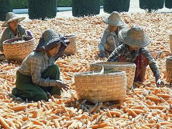 Drying maize in Myanmar.