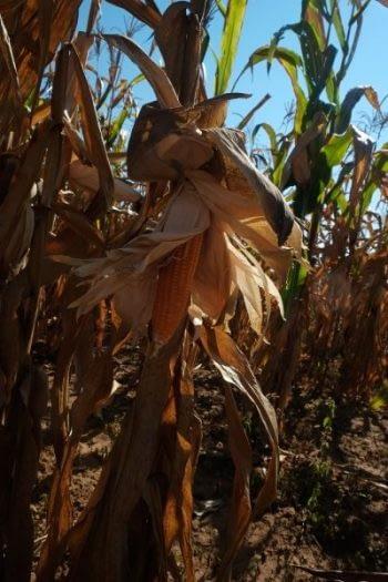Biofortified orange maize in a farmer's field. Photo: Matthew O'Leary/ CIMMYT