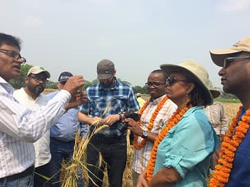 USAID delegation learns about the symptoms and effect of wheat blast disease. Photo: CIMMYT