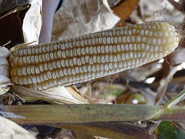 A Bt hybrid maize with resistance to the African stem borer and tolerant to drought harvested at Kitale research center, Kenya. B.Wawa/CIMMYT