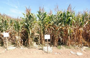 Investigation plot of hybrid seed production technology in Puerto Vallarta, Jalisco, Mexico.