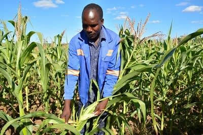 """Smallholder farmer Perkins Chimuriwo of Mashonaland East province inspects the fall army worm damage to his maize crop in March. """"I had expected to harvest 14 tons of maize on my two-hectare plot, but due to the fall armyworm, I've only harvested eight tons,"""" said Chimuriwo. Photo: J. Siamachira/CIMMYT."""