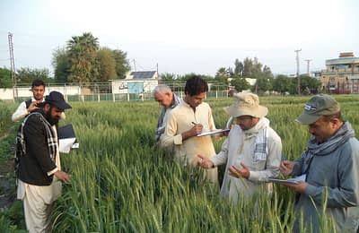 Scientists take readings of rust disease incidence on experimental wheat lines at the Shishambagh research station, Nangarhar, of the Agricultural Research Institute of Afghanistan. Photo: Raqib/ CIMMYT