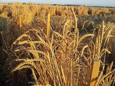 CIMMYT wheat physiologist Matthew Reynolds presents a new proposal for expanding the wheat network to include other major food crops and speed farmers' adoption of vital technologies. Photo: CIMMYT archives.