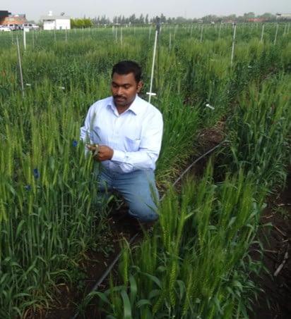 Velu Govindan examines wheat in the field.