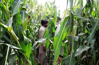 Field evaluation of QPHM200 at Rawalakot, AJK, Pakistan. Photo: Muhammad Ashraf/NARC