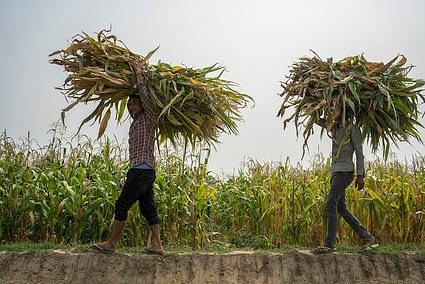 Farm workers harvest maize. (Photo: P. Lowe/CIMMYT)