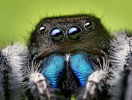 Face of an adult male Phidippus audax male jumping spider. (Photo: Opoterser/Wikimedia Commons)