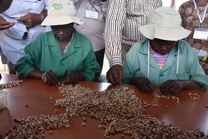 Some of the workers at Kiboko station sorting out maize seed varieties. (Photo: Joshua Masinde/CIMMYT)