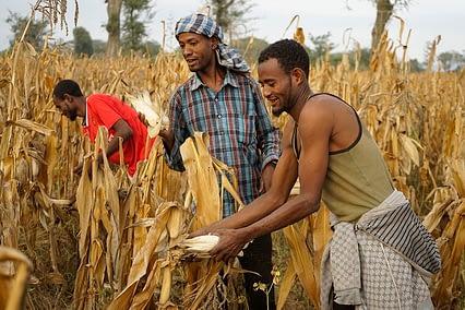 Farmers Nuri Bekele, Tefera Tamirat & Melaka Bekele harvest drought tolerant maize in Ethiopia. Photo: P. Lowe/CIMMYT
