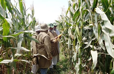 Field evaluation of QPM hybrids by team of experts in Harappa, Punjab. Photo: M. Waheed Anwar