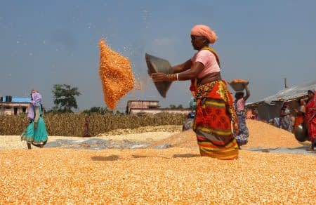 A women dries maize grain after shelling. Photo: CIMMYT/ Wasim Iftikar