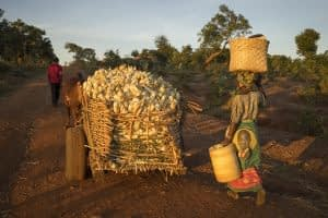 Farmers head for home after harvesting maize in Chipata district, Zambia. CIMMYT/Peter Lowe