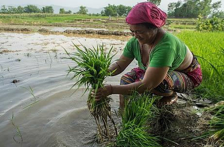 Farmer Bida Sen prepares rice seedlings for transplanting in Pipari, Dang. Photo: P. Lowe/CIMMYT