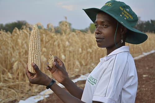 Stress-tolerant maize varieties are helping farmers produce more food despite climate change. Photo: Johnson Siamachira/CIMMYT.