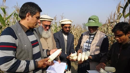 Evaluating CIMMYT's white maize germplasm at CCRI. Photo: CIMMYT