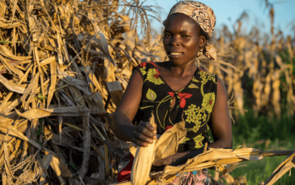 """Drought is increasingly common in Malawi, leaving an estimated three million people in need of urgent humanitarian food assistance this year alone. However, a fortunate few will escape hunger, including more than 400 farmers and their families in Balaka, southern Malawi, who have been practicing CA over the last 12 years. """"Few farmers have livestock in Balaka, so crop residues can be kept on the fields instead of feeding them to cattle,"""" according to Thierfelder, who says Malawi presents a good case for conservation agriculture. CIMMYT and its strategic development partner Total LandCare have helped more than 65,000 farmers adopt CA systems throughout the entire country. Above, SIMLESA lead farmer Agnes Sendeza harvests maize ears on her farm in Tembwe, Salima District, Malawi. Photo: Peter Lowe/CIMMYT"""
