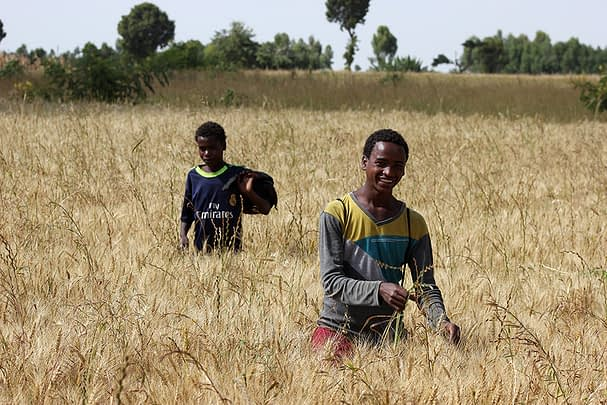 Increasing wheat and maize yields in Arsi Negele (southern Ethiopia) is not enough to guarantee a nutritious diet, but maintaining a diverse landscape appears critical. Photo: F. Baudron