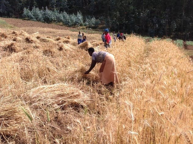 Harvesting wheat at Gataraga, Northern Province, Rwanda.