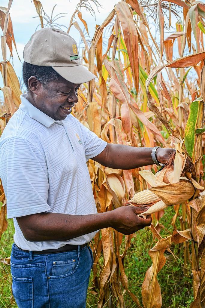 Cropping systems agronomist Isaiah Nyagumbo inspects a maize ear at the Chimbadzwa plot in Ward 4, Murewa, Zimbabwe. (Photo: CIMMYT)