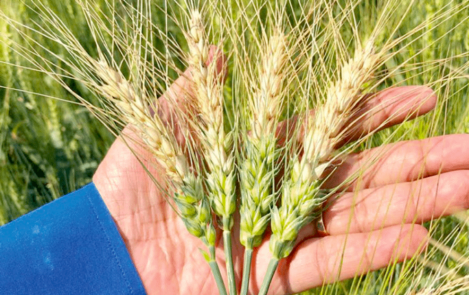 Wheat infected with the blast fungus in Meherpur, Bangladesh, in 2019. (Photo: PLOS Biology)