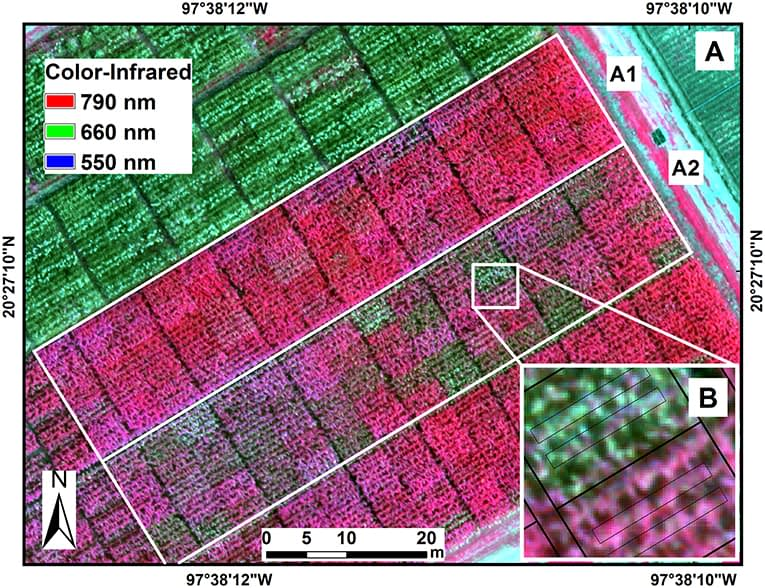 Color-infrared image of maize hybrids in the experimental trials under fungicide treatment (A1) and non-fungicide treatment (A2) of tar spot complex of maize. Image data were extracted from two polygons from the two central rows in each plot (B).