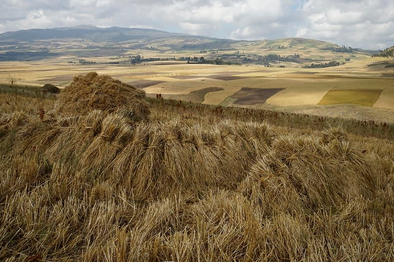 Harvesting golden spikes of wheat in Ethiopia. (Photo: Peter Lowe/CIMMYT